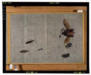 C0029373 虫譜_巻1_カブトムシ Edo-era