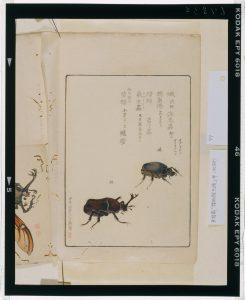 C0067833 博物館虫譜_甲 Meiji-era