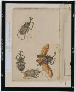 C0067834 博物館虫譜_甲 Meiji-era