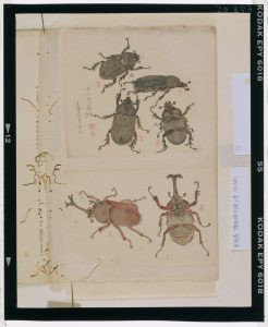 C0067835 博物館虫譜_甲 Meiji-era